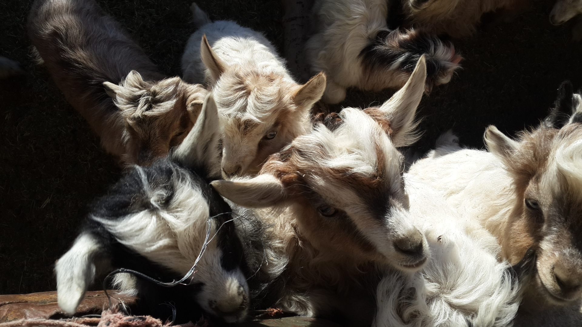 Staying overnight at Spangmik next to Pangong Lake gives you a chance to track down baby goats in the early morning sun.