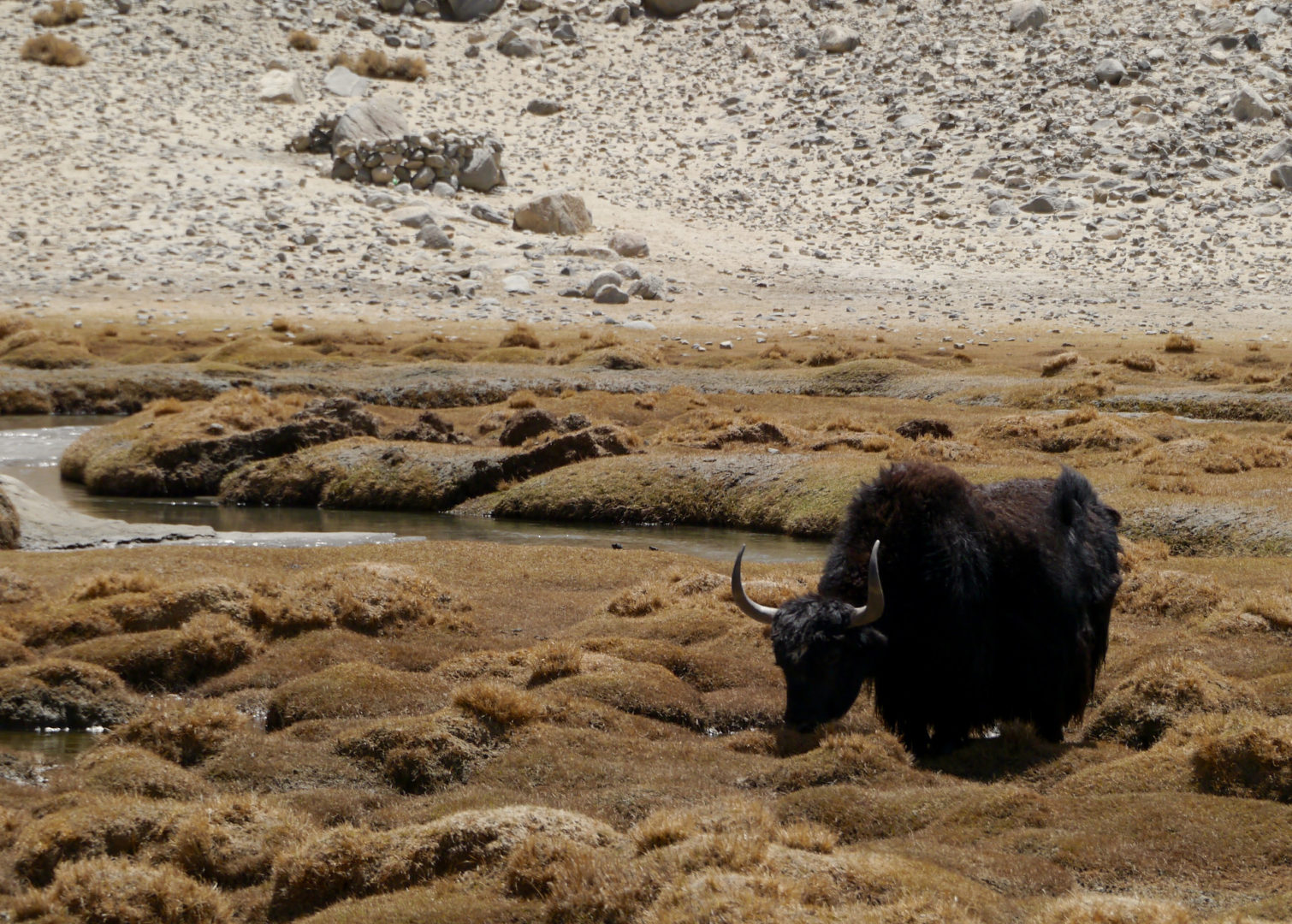 A yak having lunch.