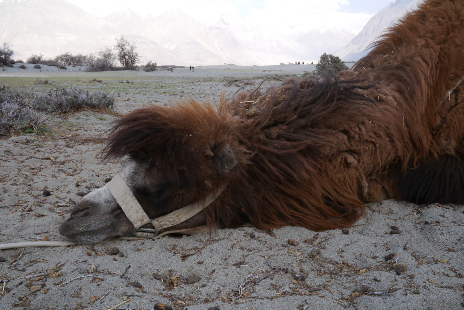 A tired bactrian camel after a long day of shuffling around tourists.